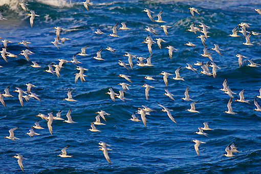 BRD 04 WF0018 01 © Kimball Stock Flock Of South American Tern Flying Over Sea