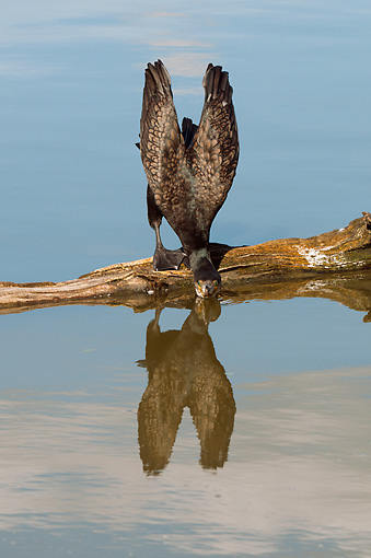 BRD 04 WF0023 01 © Kimball Stock Great Cormorant Standing On Tree Trunk Drinking From Pond