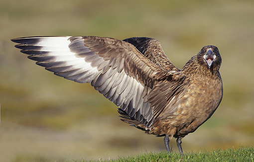 BRD 04 WF0042 01 © Kimball Stock Great Skua Displaying On Breeding Territory