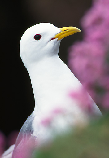 BRD 04 WF0044 01 © Kimball Stock Head Shot Of Black-Legged Kittiwake By Pink Blossoms