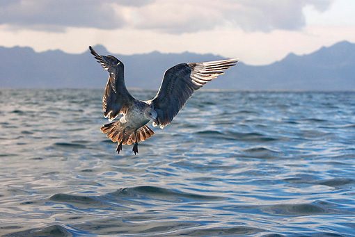 BRD 04 KH0001 01 © Kimball Stock Juvenile Kelp Gull Flying Over Ocean