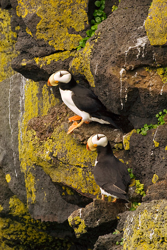 BRD 04 NE0002 01 © Kimball Stock Two Horned Puffins Sitting On Rocky Cliff