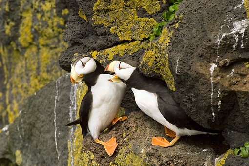 BRD 04 NE0003 01 © Kimball Stock Two Horned Puffins Sitting On Rocky Cliff