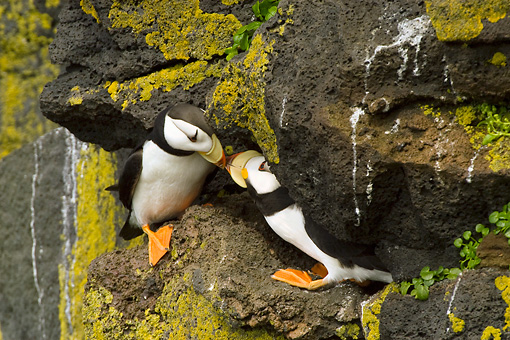 BRD 04 NE0004 01 © Kimball Stock Two Horned Puffins Sitting On Rocky Cliff Kissing