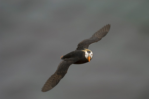 BRD 04 NE0008 01 © Kimball Stock Tufted Puffin Flying