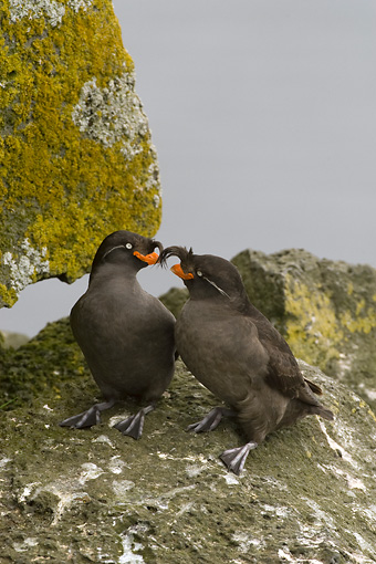 BRD 04 NE0011 01 © Kimball Stock Two Crested Auklets Sitting On Rocky Cliff