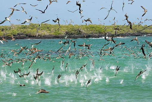BRD 04 NE0015 01 © Kimball Stock Flock Of Blue-Footed Boobies Flying And Diving In Water Galapagos Islands