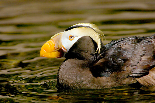 BRD 04 TL0002 01 © Kimball Stock Profile Of Tufted Puffin Swimming In Water