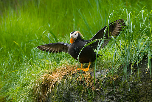 BRD 04 TL0003 01 © Kimball Stock Tufted Puffin Drying Wings On Bank By Tall Grass
