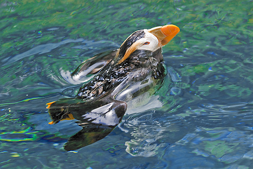 BRD 04 TL0008 01 © Kimball Stock Tufted Puffin Surfacing After Dive