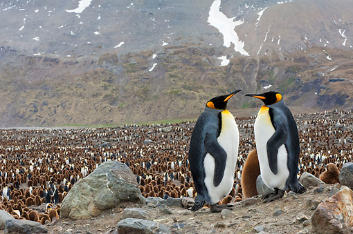 BRD 05 AC0014 01 © Kimball Stock King Penguins Standing At Rookery In St. Andrews Bay, South Georgia Island