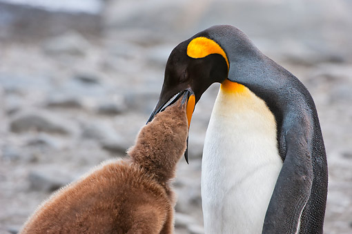 BRD 05 AC0015 01 © Kimball Stock King Penguin Adult Feeding Young At St. Andrews Bay, South Georgia Island