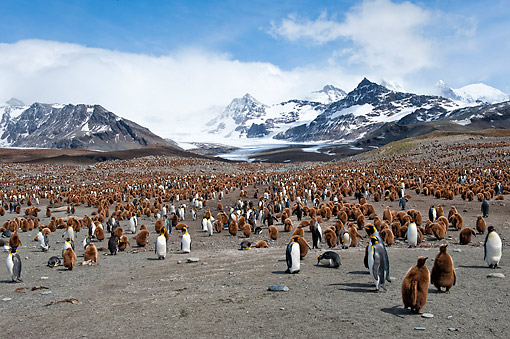 BRD 05 AC0017 01 © Kimball Stock King Penguin Rookery At St. Andrews Bay, South Georgia Island