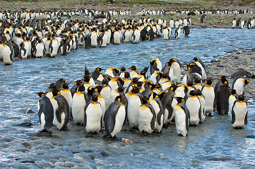 BRD 05 AC0018 01 © Kimball Stock King Penguin Rookery At St. Andrews Bay, South Georgia Island