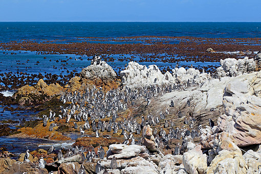 BRD 05 AC0019 01 © Kimball Stock African Penguin (Also Called Jackass Penguin Or Black-Footed Penguin) Colony Standing On Shore In Betty's Bay, Western Cape, South Africa