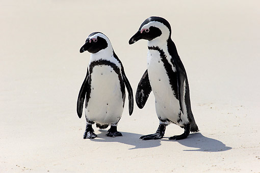 BRD 05 AC0023 01 © Kimball Stock African Penguins (Also Called Jackass Or Black-Footed Penguins Walking On Beach In Simon's Town, Western Cape, South Africa