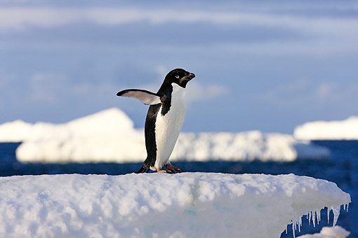 BRD 05 AC0026 01 © Kimball Stock Adelie Penguin Flapping Wings On Devil Island, Weddell Sea, Antarctica