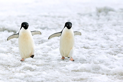 BRD 05 AC0027 01 © Kimball Stock Adelie Penguins Walking And Flapping Wings On Devil Island, Weddell Sea, Antarctica