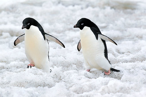 BRD 05 AC0028 01 © Kimball Stock Adelie Penguins Walking And Flapping Wings On Devil Island, Weddell Sea, Antarctica