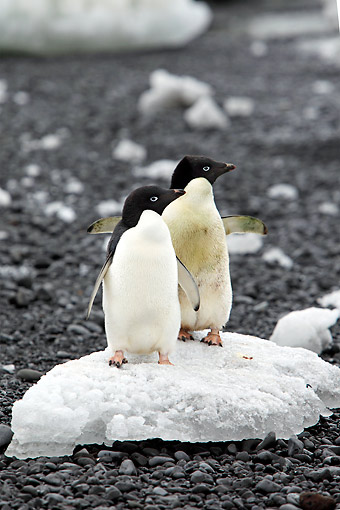 BRD 05 AC0029 01 © Kimball Stock Adelie Penguins Standing On Ice On Devil Island, Weddell Sea, Antarctica