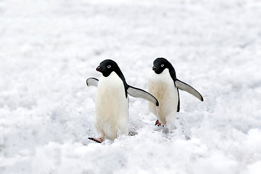 BRD 05 AC0030 01 © Kimball Stock Adelie Penguins Standing On Ice On Devil Island, Weddell Sea, Antarctica