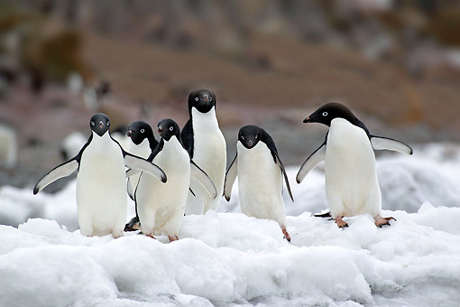 BRD 05 AC0031 01 © Kimball Stock Adelie Penguins Standing On Ice On Devil Island, Weddell Sea, Antarctica