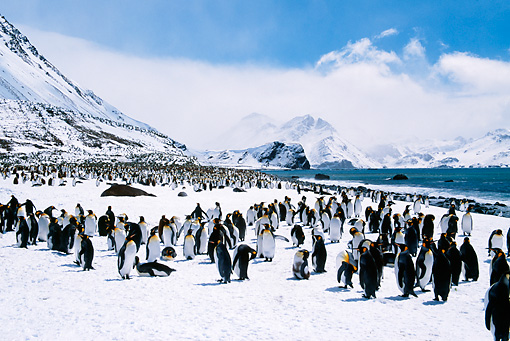 BRD 05 BA0001 01 © Kimball Stock Colony Of King Penguins In Snow By Mountains And Beach