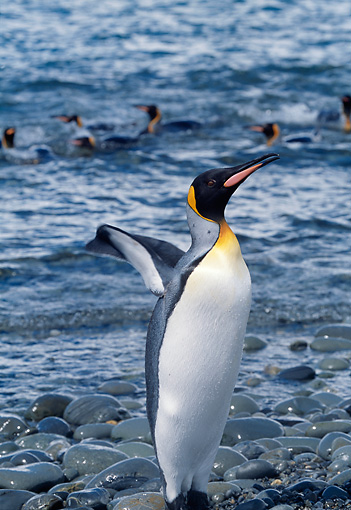 BRD 05 BA0002 01 © Kimball Stock King Penguin Standing On Beach With Colony Swimming In The Background