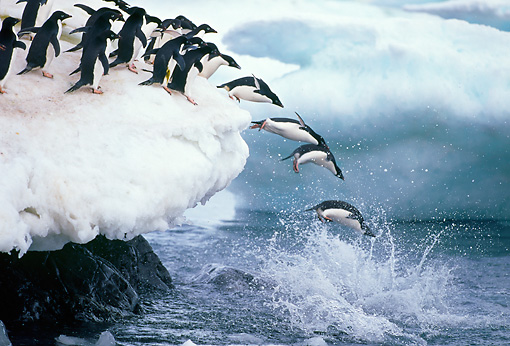 BRD 05 GL0001 01 © Kimball Stock Group Of Adelie Penguins Jumping Of Snowy Ledge Into Sea
