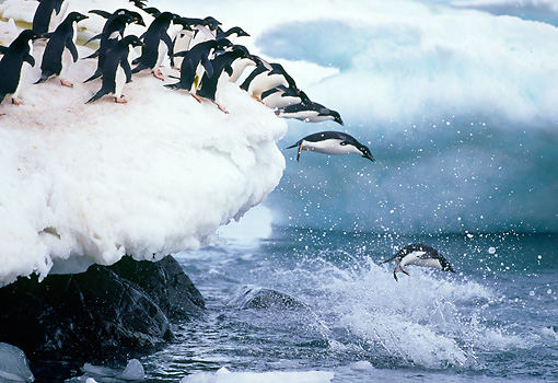 BRD 05 GL0002 01 © Kimball Stock Group Of Adelie Penguins Jumping Of Snowy Ledge Into Sea