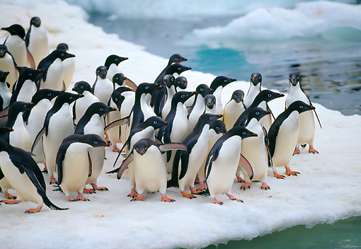 BRD 05 GL0003 01 © Kimball Stock Group Of Adelie Penguins Standing On Icy Glacier
