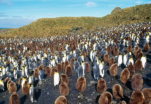 BRD 05 GL0004 01 © Kimball Stock Colony Of King Penguin Adults And Chicks On Beach