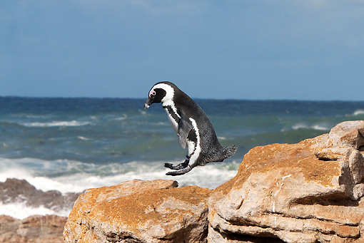 BRD 05 GL0006 01 © Kimball Stock African Penguin (aka Black-Footed Penguin) Jumping From Rock In Betty's Bay, South Africa