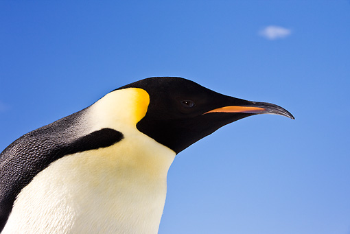 BRD 05 KH0010 01 © Kimball Stock Head Shot Of Emperor Penguin Against Blue Sky Antarctica