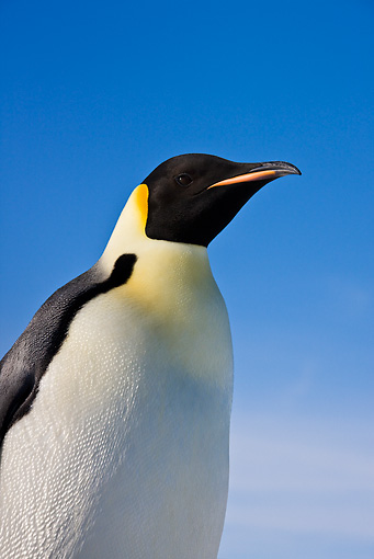 BRD 05 KH0013 01 © Kimball Stock Portrait Of Emperor Penguin Against Blue Sky Antarctica