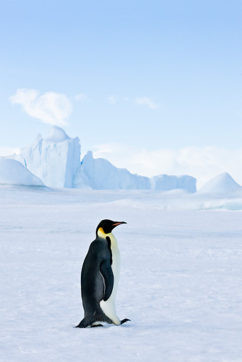BRD 05 KH0015 01 © Kimball Stock Emperor Penguin Walking On Ice Antarctica