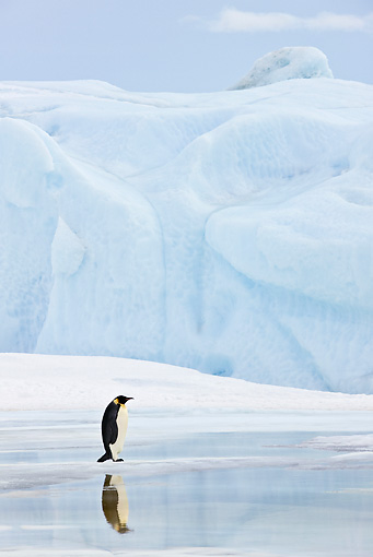 BRD 05 KH0016 01 © Kimball Stock Emperor Penguin Standing On Ice By Reflection Antarctica