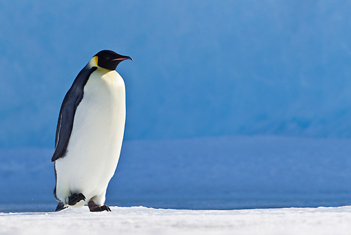 BRD 05 KH0019 01 © Kimball Stock Emperor Penguin Walking On Ice Antarctica