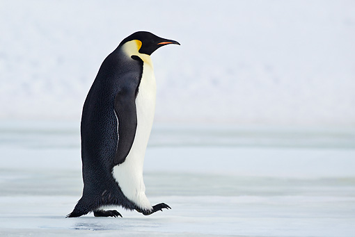 BRD 05 KH0021 01 © Kimball Stock Emperor Penguin Walking On Ice Antarctica