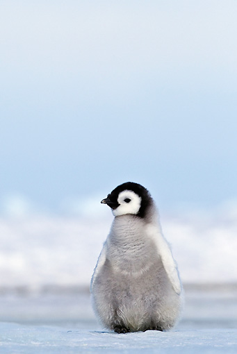 BRD 05 KH0025 01 © Kimball Stock Emperor Penguin Chick Standing On Ice Antarctica