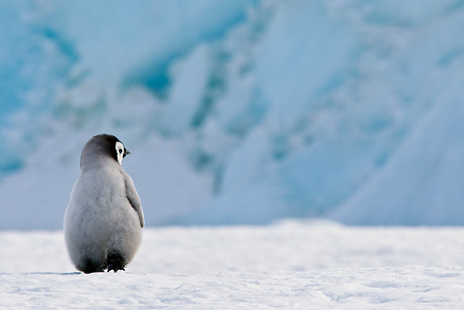 BRD 05 KH0026 01 © Kimball Stock Back View Of Emperor Penguin Chick Walking On Ice Antarctica