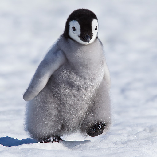 BRD 05 KH0027 01 © Kimball Stock Emperor Penguin Chick Walking On Ice Antarctica