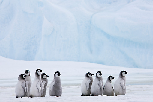 BRD 05 KH0030 01 © Kimball Stock Group Of Emperor Penguin Chicks Standing On Ice Antarctica