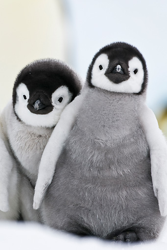 BRD 05 KH0033 01 © Kimball Stock Close-Up Of Two Emperor Penguin Chicks Standing On Ice Antarctica