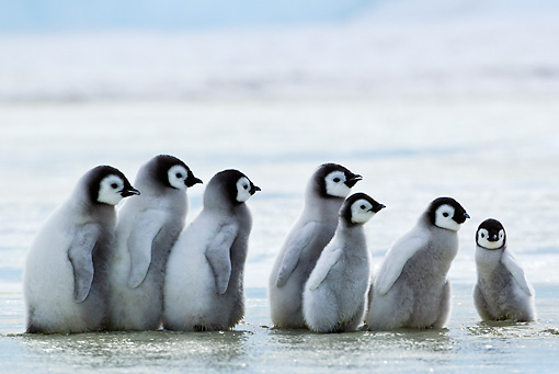 BRD 05 KH0034 01 © Kimball Stock Group Of Emperor Penguin Chicks Walking On Melting Ice Antarctica