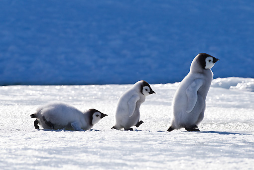 BRD 05 KH0035 01 © Kimball Stock Three Emperor Penguin Chicks Walking On Ice Antarctica