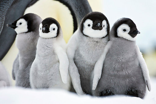 BRD 05 KH0036 01 © Kimball Stock Group Of Emperor Penguin Chicks Standing On Ice By Adult Antarctica