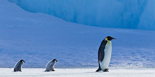 BRD 05 KH0040 01 © Kimball Stock Emperor Penguin And Two Chicks Walking On Ice Antarctica
