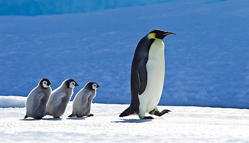 BRD 05 KH0041 01 © Kimball Stock Emperor Penguin Walking On Ice With Three Chicks Following Antarctica