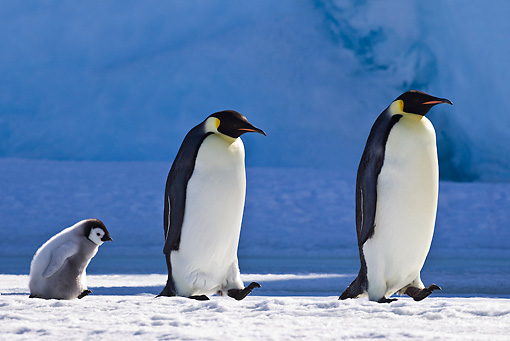 BRD 05 KH0042 01 © Kimball Stock Two Emperor Penguins Walking On Ice With Chick Following Antarctica